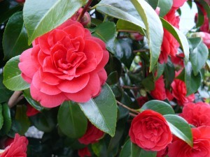 Photo of Camelias by Diana Stevan