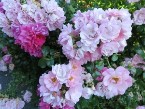 """Love is like the wild rose-briar""....from a poem by Emily Bronte"